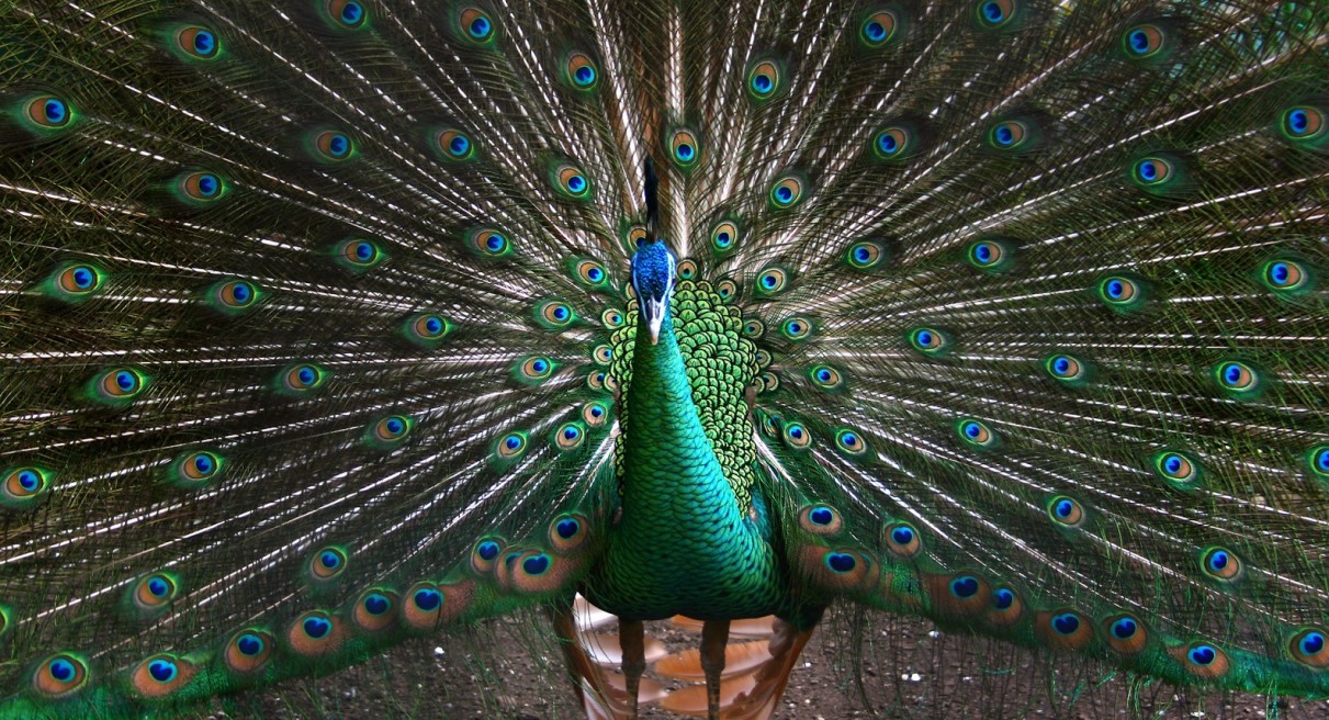 Peacock Your Business